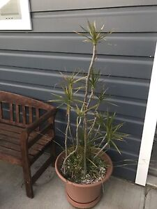 Yucca plant in pot Broadmeadow Newcastle Area Preview