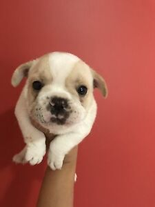 French bulldog puppies Greta Cessnock Area Preview