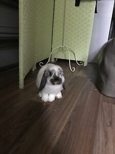 Miniature lopear rabbit for sale Woonona Wollongong Area Preview