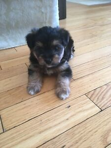 Tea cup Morkie puppy ready for loving home