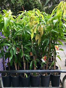 Mango tree s R2E2.tropical fruit.cheap .grower .perth