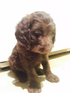 Chiot labradoodle