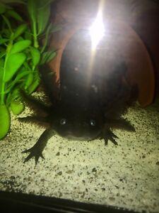 4 Adult male Axolotls.