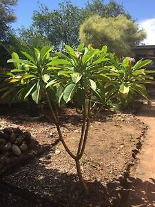 Frangipani approx 2m tall - Buyer to remove Bligh Park Hawkesbury Area Preview