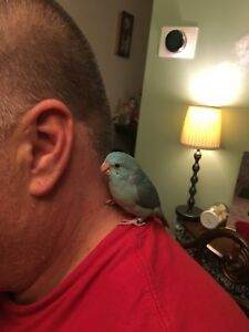 Blue parrotlet for sale