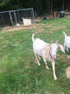6 goats for sale price drop