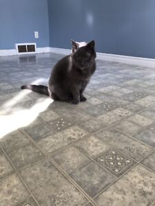 Male Russian Blue free to a good home...