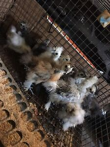 Silkie chicks and roosters