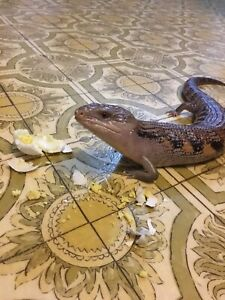 Male northern blue tongue skink with full set up