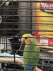 Lovebirds Wanneroo Wanneroo Area Preview
