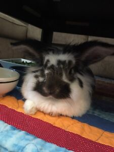 Lionhead Bunny Rabbit *PENDING*