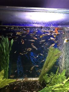 GUPPIES -  TETRAS - RASPBORAS - BRISTLENOSE Campsie Canterbury Area Preview