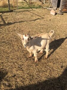 3 Pygmy goats for sale