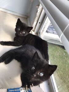 Kittens for sale Kingston Logan Area Preview