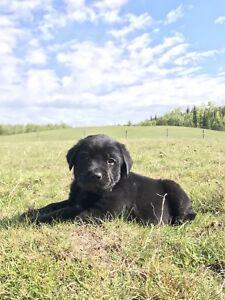 Beautiful Bernese/Labrador Mountain Puppies!
