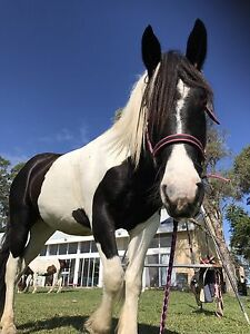 Friesian x gypsy cob Dyers Crossing Greater Taree Area Preview