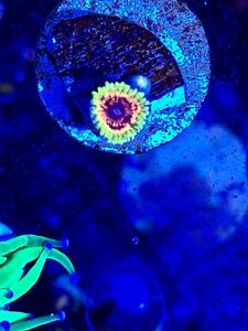 Amazing collection of coral frags for reef aquarium