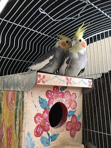 Cockatiels female and male Noble Park Greater Dandenong Preview