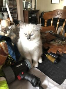 PUREBRED RAG DOLL  KITTENS FOR SALE             WILL NEGOTIATE