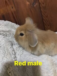 9 lion-lop bunnies left!
