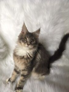 Female Maine coon kitten REGISTERED IMPORT PEDIGREE