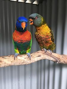 Pair of lorikeets, SOLD PENDING PICK UP Thornlie Gosnells Area Preview