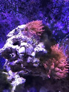 Rock with 2 bubble tip anemones