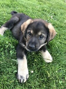 German shepherd X puppy