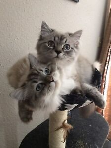2 Male Bluepoint Ragdolls (Neutered)