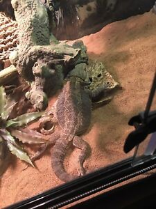 Male Bearded dragon with enclosure