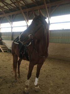 Gelding for pb in Burford on