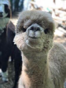 Looking for alpaca stud