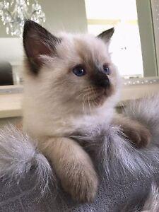 TICA registered pure breed ragdoll baby kitten