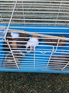 Guinea pig for sale Fairfield West Fairfield Area Preview