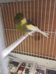 Male Gloucester canary