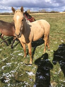 3 AQHA colts for sale
