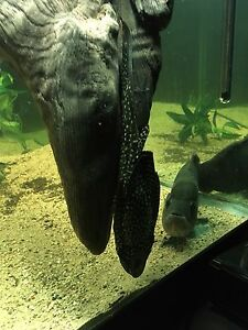 12 inch green spotted pleco