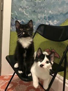 Rescued Farm Kittens - ALREADY NEUTERED, VACC, CHIP, ETC!