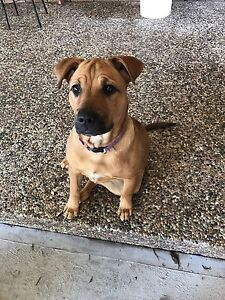 23wk old staffy x - female - free to loving home Thornton Maitland Area Preview
