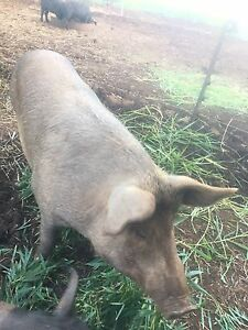 Duroc sow Yungaburra Tablelands Preview