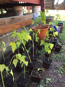 Papaya/ Paw Paw ready to plant