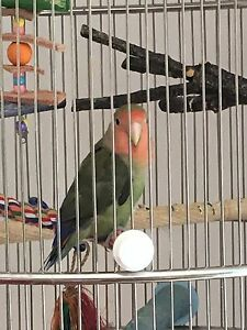 Male Love Bird and cage
