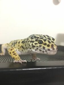 Leopard Gecko with enclosure and accessories