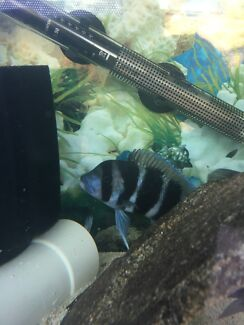 Frontosa cichlid for sale