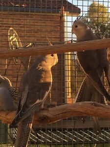 baby cockatiels for sale | Birds | Gumtree Australia Free