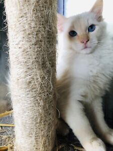 Flame point kittens if you me I'm still available