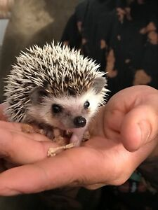 3 Month old hedgehog to a good home !