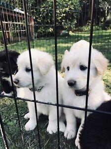 St. Bernard /Pyrenees puppies