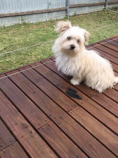 Gorgeous Maltese Shih-Tzu puppy for sale