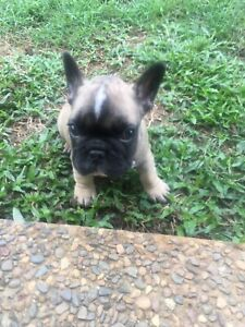 French bulldog puppies .pure bred pedigree and papered